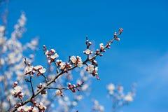 Morelowego drzewa kwiat Obrazy Royalty Free