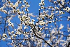 Morelowego drzewa kwiat Obraz Royalty Free