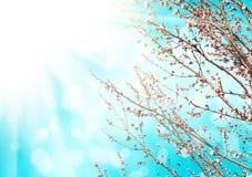 Morelowego drzewa kwiat Fotografia Stock