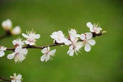 Morelowego drzewa kwiat Obrazy Stock