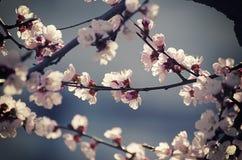 Morelowego drzewa kwiat zdjęcie royalty free