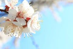 morelowego tła kwiatonośny nieba drzewo Obrazy Royalty Free