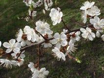 Morelowi biali kwiaty na gałąź Zdjęcia Royalty Free
