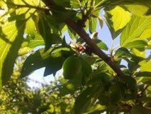 Morelowy drzewo Obrazy Stock