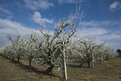Morelowy drzewo 2 zdjęcia royalty free
