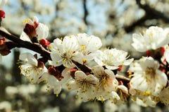 Morelowy drzewo Kwitnie z Białymi kwiatami zdjęcie royalty free