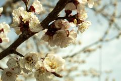 Morelowy drzewo Kwitnie z Białymi kwiatami fotografia royalty free
