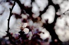 Morelowy kwiat i drzewo fotografia royalty free