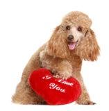 morelowy prezenta pudla valentine Fotografia Royalty Free