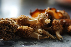 Morels Stock Photography