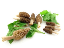 Morels isolated Royalty Free Stock Images