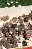 Morels mushrooms harvest Stock Photography