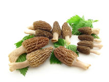 Morels and nettles. Morel mushrooms and nettles leaves isolated over white stock images
