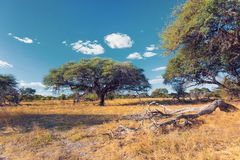 Moremi game reserve landscape, Africa wilderness. Beautiful landscape in the Moremi game reserve after rain season, Okavango Delta, Botswana, Africa wilderness royalty free stock photography