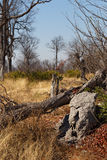Moremi game reserve, Okavango delta, Africa Botswana Royalty Free Stock Image
