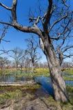 Moremi game reserve, Okavango delta, Botswana Africa Royalty Free Stock Photo