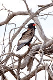 Moremi N Bateleur Eagle, Okavango delta - P Obraz Royalty Free