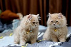 Morenita linda de los gatos persas Imagen de archivo libre de regalías