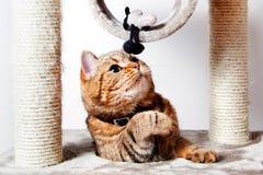 Moreno del gato nacional que juega en casa Animales domésticos Fotos de archivo