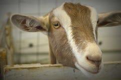 Moreno y cabra blanca imagen de archivo libre de regalías