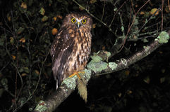 Morepork Fotos de Stock Royalty Free