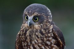 Morepork owl closeup of head with large eyes. In Auckland Zoo, New Zealand Stock Images