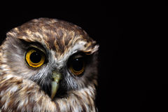 Morepork portrait Royalty Free Stock Photos
