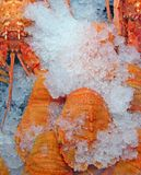 Moreton Bay Bugs. A type of tasty lobster found around the Queensland coast Royalty Free Stock Images