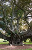 Moreton Bay Fig Stock Images