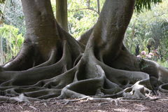 Moreton Bay Fig. With incredible octopus roots Royalty Free Stock Images