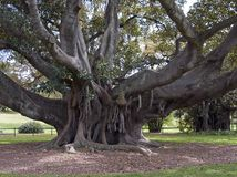 Moreton Bay Fig. Tree Royalty Free Stock Photography