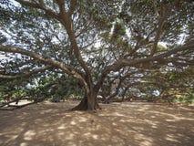 Moreton Bay fig tree Royalty Free Stock Photos