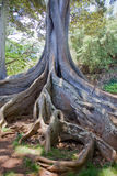 Moreton Bay Fig Tree 2 Royalty Free Stock Images