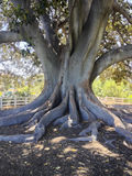 Moreton Bay Fig Tree Royalty Free Stock Images