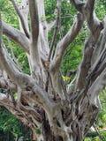 Moreton Bay Fig Tree Royalty Free Stock Images
