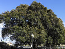 Moreton Bay Fig Tree Stock Image