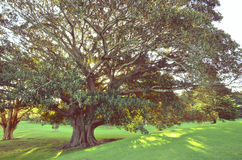 Moreton Bay Fig tree in golden light. Golden afternoon sunlight shining through the canopy of a majestic Moreton Bay Fig Tree, Centennial Park, Sydney, Australia Royalty Free Stock Images