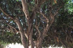 Moreton Bay fig tree. Moreton Bay fig (Ficus macrophylla) aka Australian banyan tree Royalty Free Stock Image