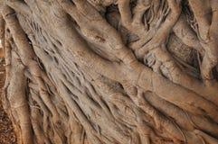 Moreton Bay fig tree. Moreton Bay fig (Ficus macrophylla) aka Australian banyan tree Stock Photos