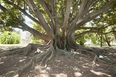 Moreton Bay Fig Tree - Perth - Australia. Moreton Bay Fig Tree in Perth - Australia Stock Image