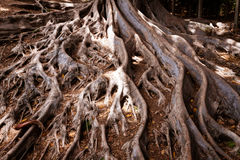 Moreton Bay Fig tree roots. Close up shot of Moreton Bay Fig tree roots Stock Image