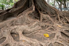 Roots in Plaza de Mina of Cadiz, Southern Spain. Moreton Bay Fig tree roots in Plaza de Mina in city of Cadiz in Southern Spain Stock Photography
