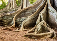 Moreton Bay Fig tree roots. Strange spreading roots of the Moreton Bay Fig Tree as seen in Jurassic Park film Stock Photos