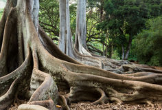 Moreton Bay Fig tree roots Stock Photos