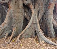 Moreton Bay Fig Tree, Sydney, Australia. Ficus macrophylla, commonly known as the Moreton Bay fig or Australian banyan, is a large evergreen banyan tree of the Royalty Free Stock Images