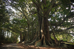 Moreton Bay Fig Trees. Line the road on Norfolk Island Royalty Free Stock Images