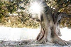 Moreton Bay fig in Valencia. Moreton Bay fig Ficus macrophylla in Valencia, Spain Stock Photography