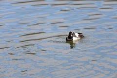 Moretta maschio (fuligula dell'aythya) nel Giappone in un lago Fotografia Stock Libera da Diritti