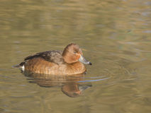 Moretta Tabaccata (Aythya Nyroca). Ferruginous duck (Aythya Nyroca) swim in the calm, quiet waters of a pond Stock Image