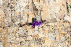 Morettiana porpora della campanula del bellflower della dolomia del fiore del fiore in crepa della roccia della montagna, Tirolo  Fotografie Stock